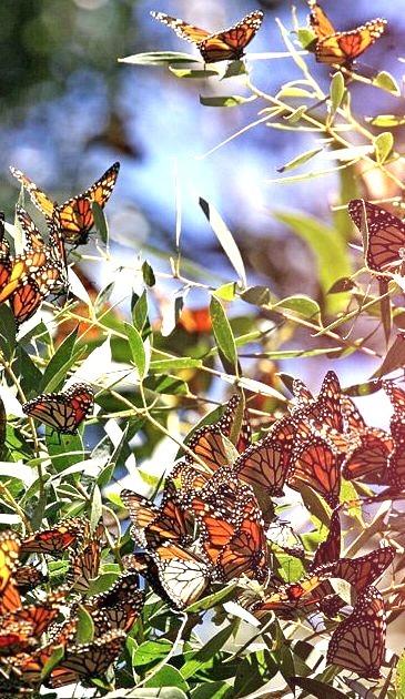 Annual Monarch Butterfly Migration, Pismo Beach, California