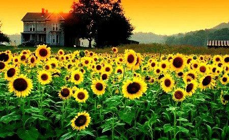 Sunflower Sunset, Dreamland, Kentucky