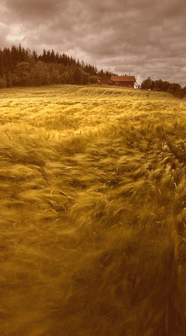 Windblown Wheat, Norway