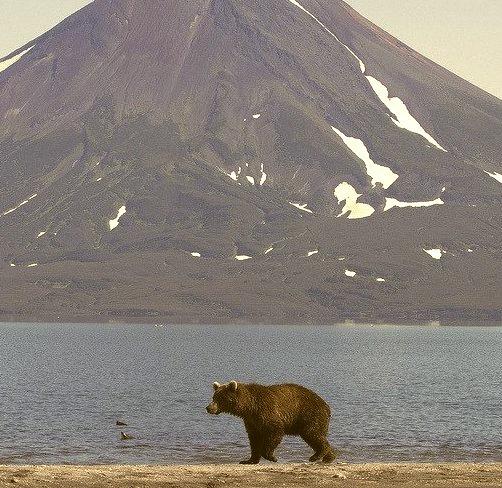 Brown bear walking in front of the volcano at Kurilskoye lake, Kamchatka, Russia