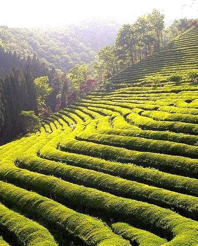 Boseong Tea Plantations in Jeollanam-do, South Korea